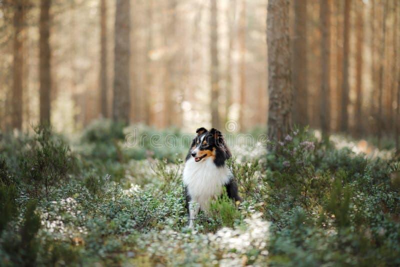 Cachorro na floresta Pet sobre a natureza Sheltie tricolor na natureza imagem de stock royalty free