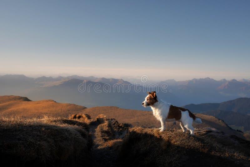 Cachorro nas montanhas pequeno jack russell sobre o fundo das rochas no pôr do sol Caminhando com um animal de estimação imagens de stock royalty free