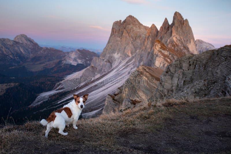 Cachorro nas montanhas pequeno jack russell sobre o fundo das rochas no pôr do sol Caminhando com um animal de estimação imagem de stock
