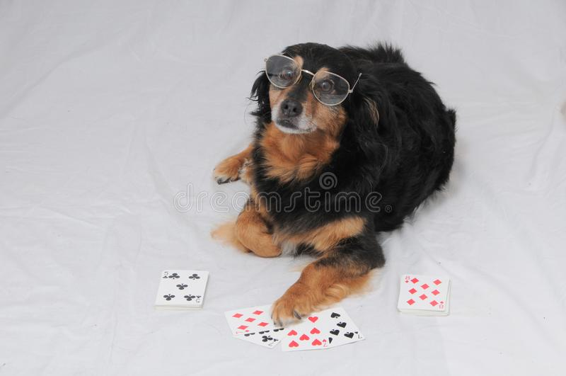 Cachorro Poker fotos de stock