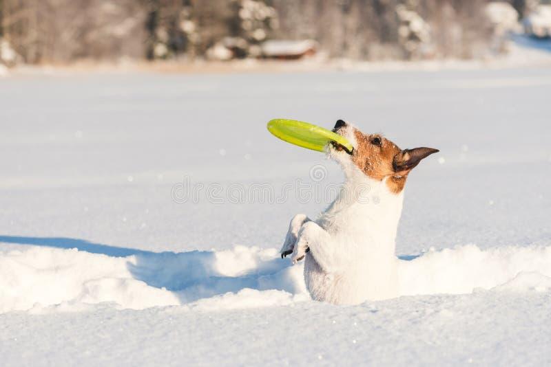 Cachorro sentado mendigar pedindo para brincar com brinquedo na neve imagem de stock royalty free