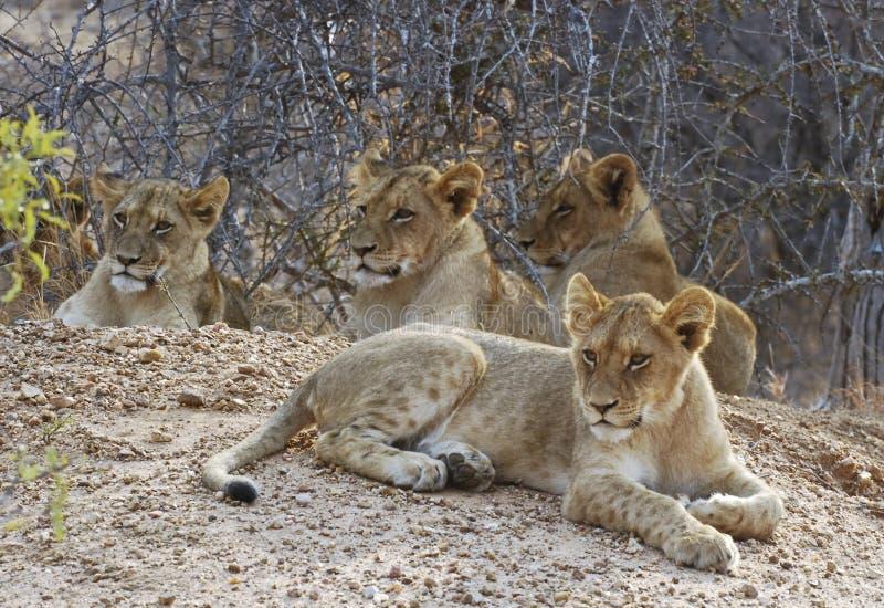 Cachorros de león foto de archivo