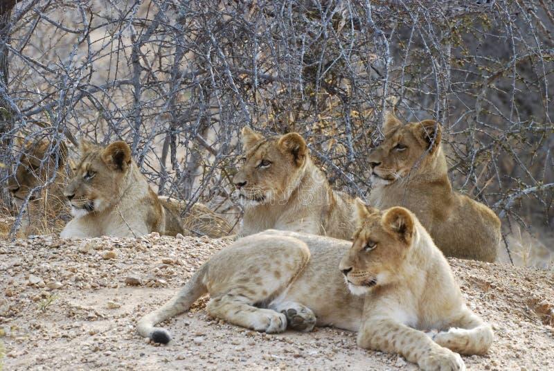 Cachorros de león fotografía de archivo libre de regalías