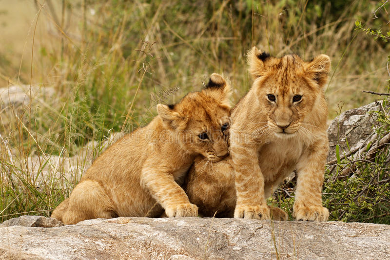 Cachorros de león jovenes fotos de archivo