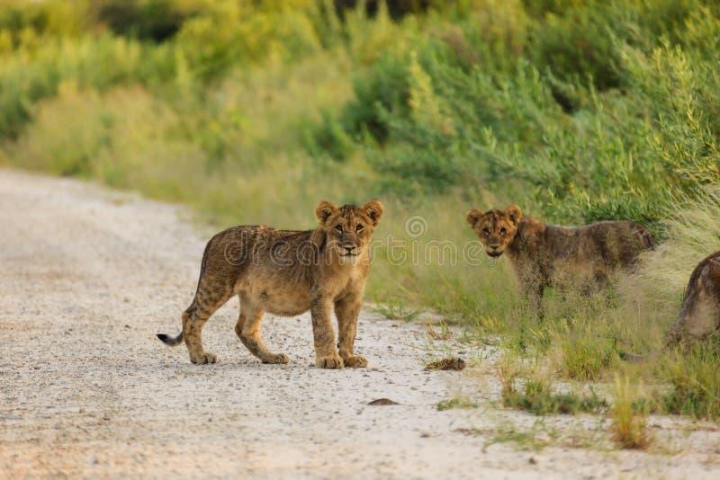 Cachorros de león que juegan en camino en la pausa de Namibia del parque nacional de Etosha para mirar al fotógrafo fotos de archivo libres de regalías