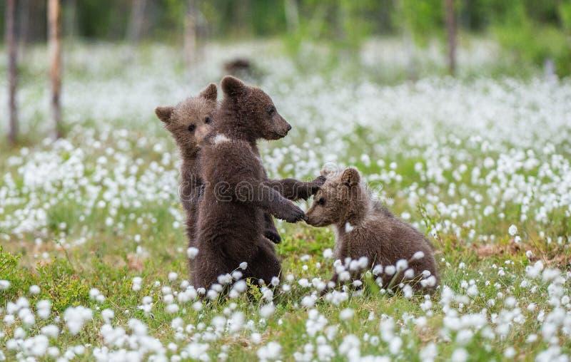 Cachorros de oso de Brown que juegan en el campo entre las flores blancas El oso Cubs se coloca en sus piernas traseras Estación  imagen de archivo libre de regalías