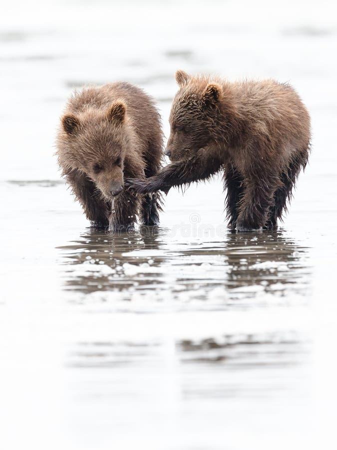 Cachorros de oso de Brown que obran recíprocamente foto de archivo