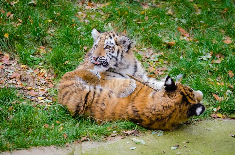 Cachorros de tigre siberiano fotos de archivo libres de regalías