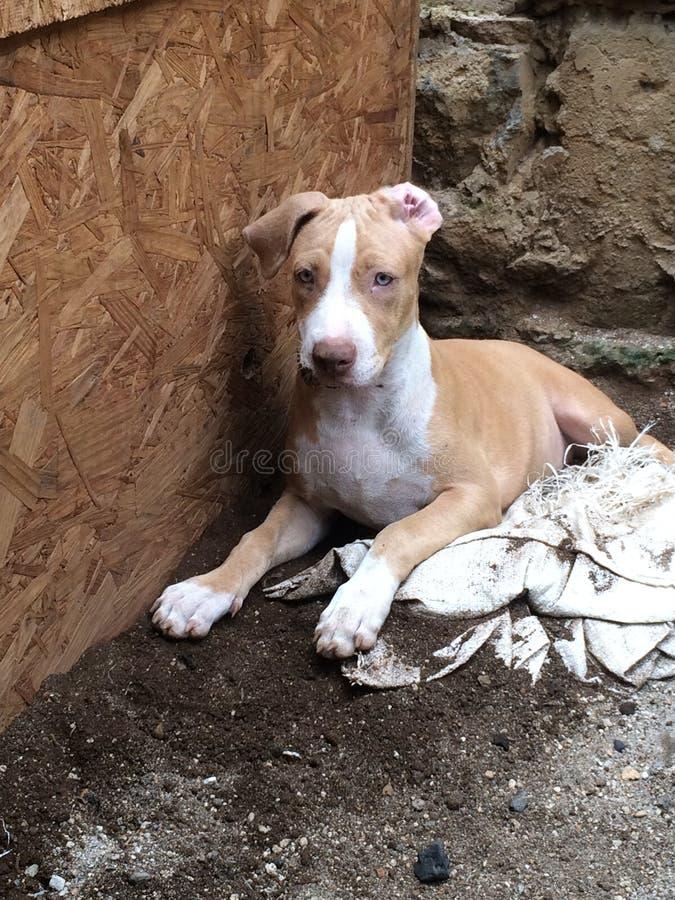 Cachorros-pitbull jugando Juntos y felices lizenzfreie stockbilder