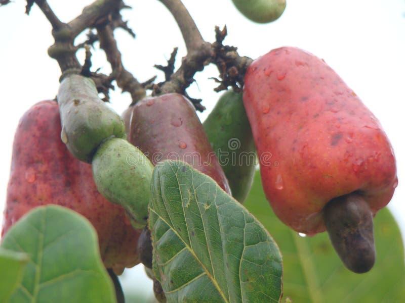 Cachoufruit stock afbeelding