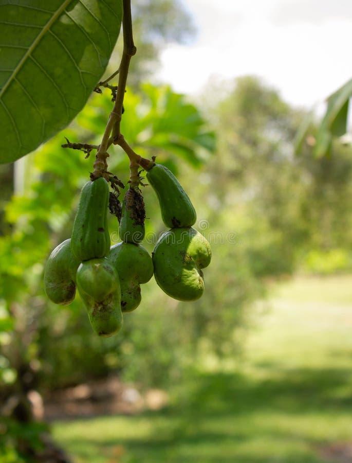 Cachouvruchten het rijpen op boom royalty-vrije stock afbeeldingen