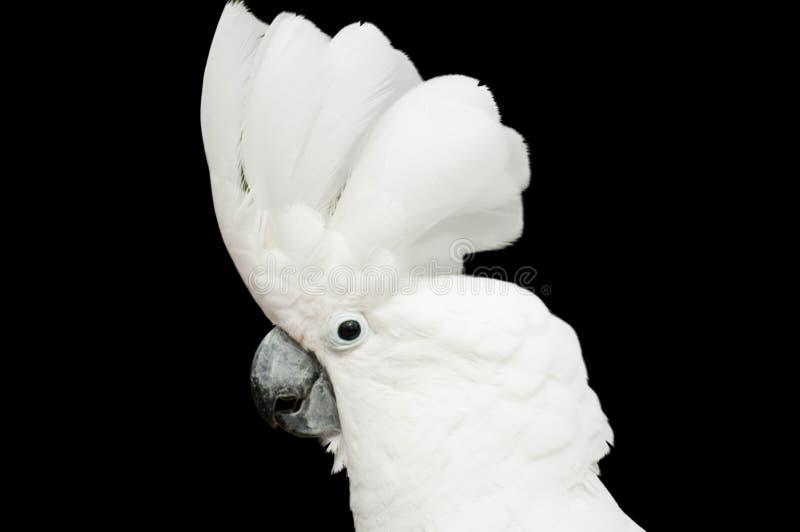 Cackatoo royalty-vrije stock foto's