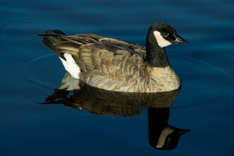 Download Cackling Goose stock photo. Image of swimming, lake, birds - 41780266
