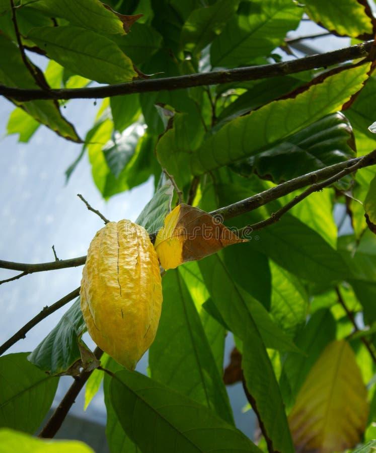 Cacoafruit het rijpen op boom stock foto's