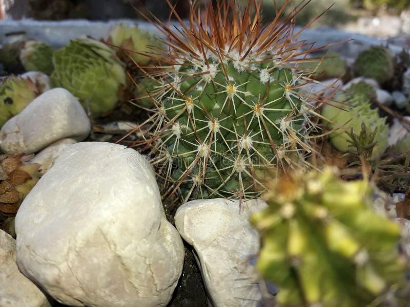 Cactaceae fotos de archivo libres de regalías