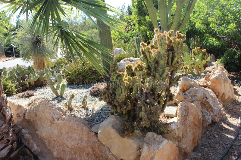 Cactaceae stock afbeelding