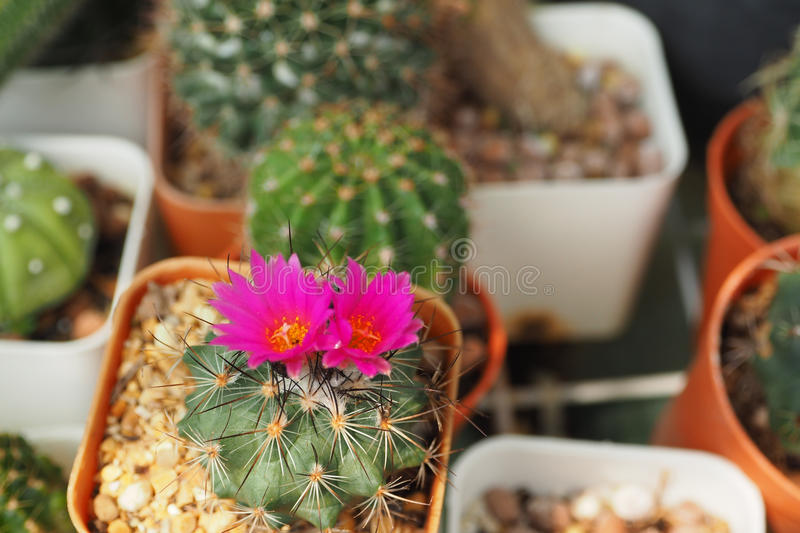 The Cactaceae royalty free stock photos