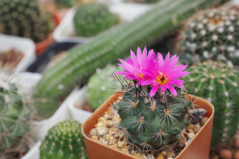 The cactaceae stock images