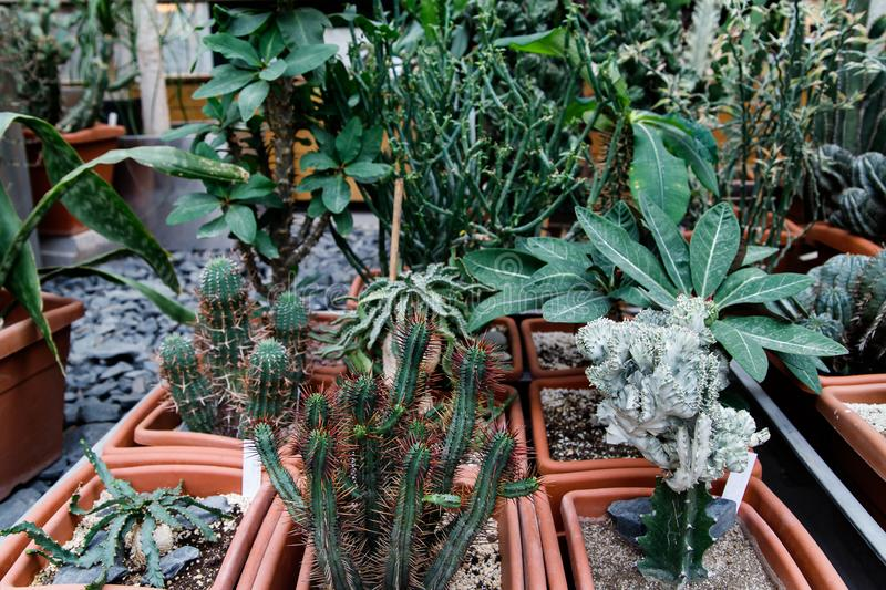 Cacti. Big plants. Greenhouse. Botanical garden with cacti. Flowers outside the window. Greenery. Cacti in pots. alley in flowers royalty free stock images