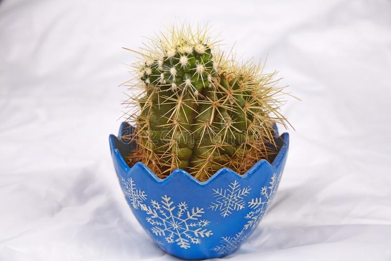 Cacti in blue flowerpot. Cactus bonsai in white background stock image