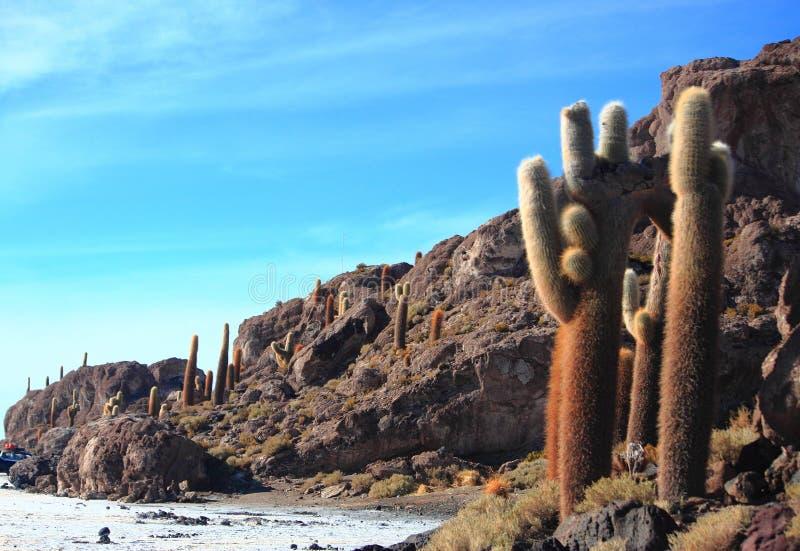The cacti on the Isla Incahuasi. Salar de Uyuni royalty free stock photos