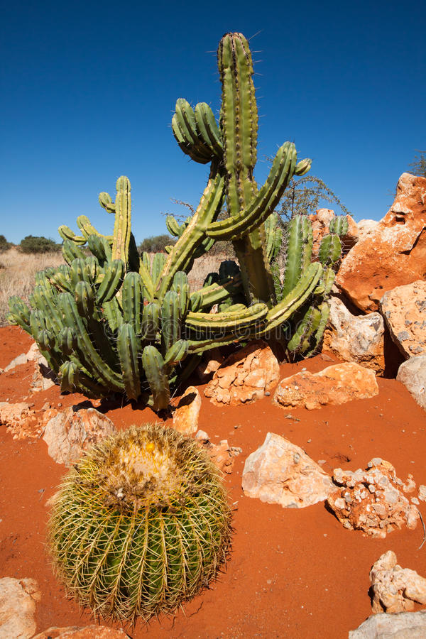 Cacti in the Kalahari. Three green cacti in the red sand of the Kalahari desert under a blue sky, Namibia royalty free stock image
