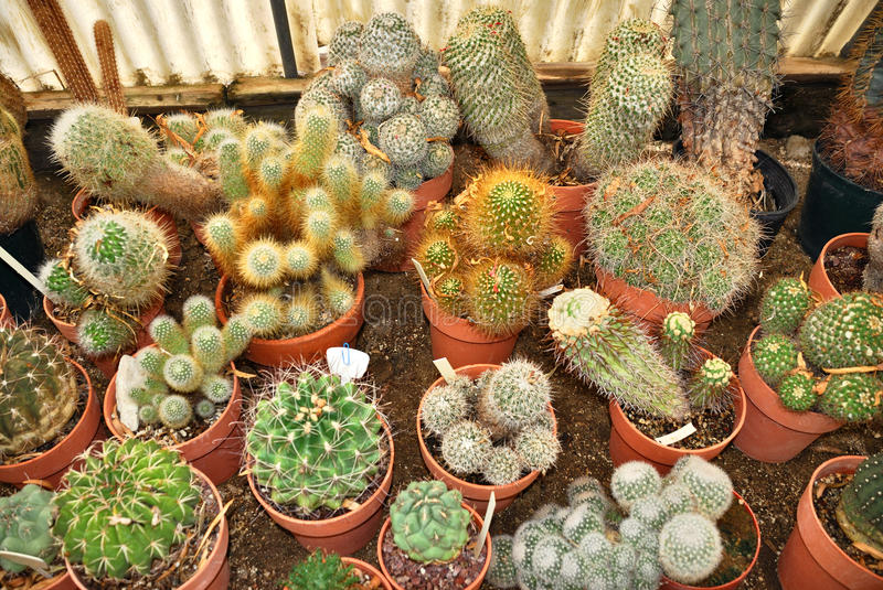 Cacti nursery. Group of various small cacti in a nursery royalty free stock image
