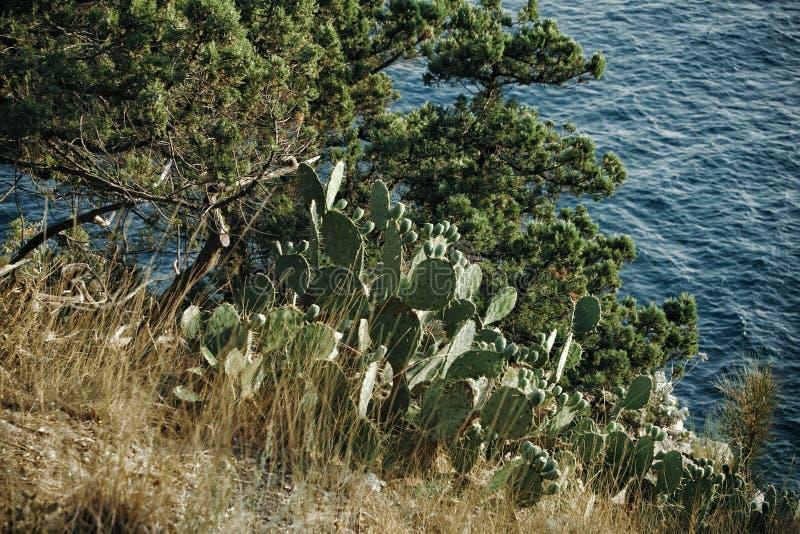 Cacti Opuntia humifusa and pine trees on a mountain slope near the sea. Russia, the Crimea royalty free stock image