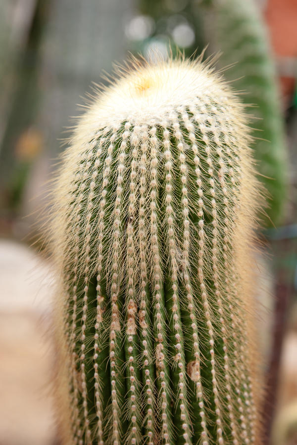 Download Cacti plants stock image. Image of thorn, prickle, desert - 25985677