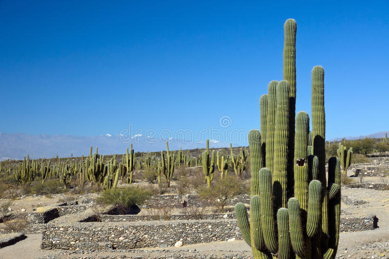 Download Cacti In The Quilmes Ruins Royalty Free Stock Image - Image: 23367986