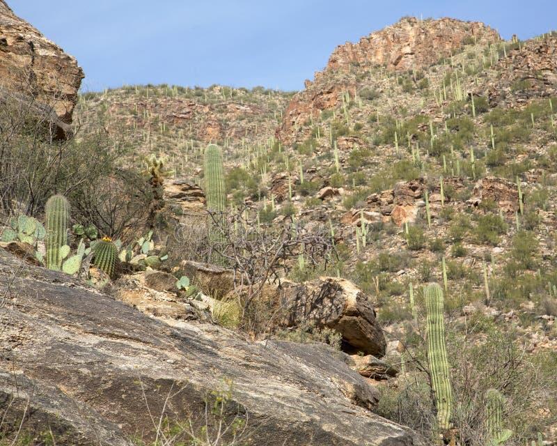 Cacti in Sabino Canyon royalty free stock image