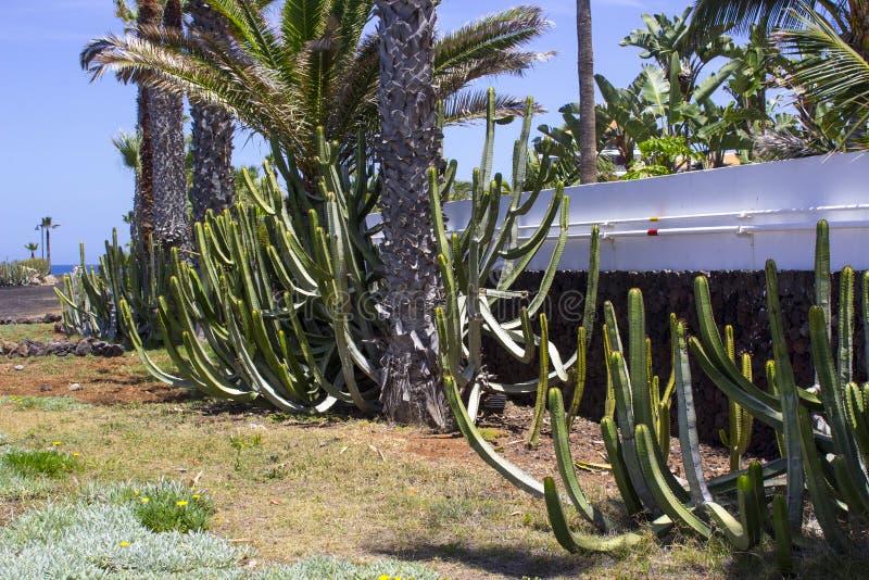 Cactii naturalizado grande en las camas del flwer a lo largo del frente de mar en Playa de Las Américas en Tenerife imagen de archivo libre de regalías