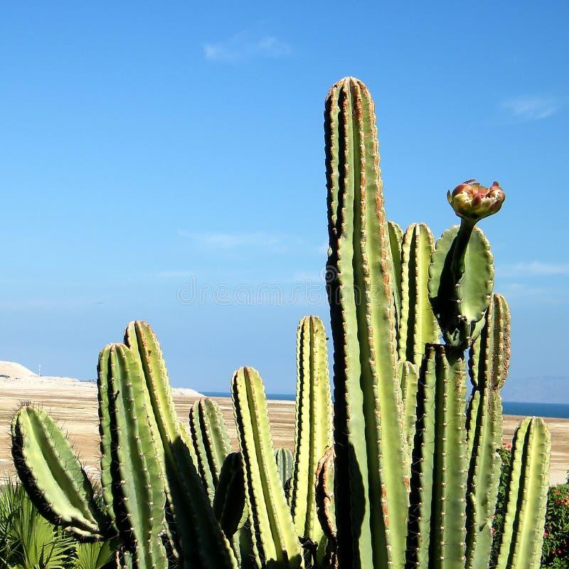 Cacto 2010 de Ein Gedi San Pedro fotografia de stock