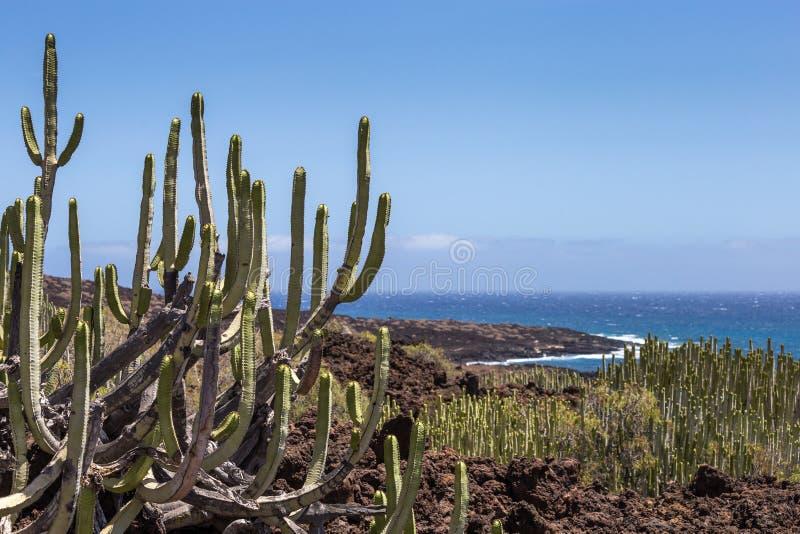 Cacto calmo na área vulcânica na frente do litoral da ilha de Tenerife, canário, Espanha foto de stock royalty free