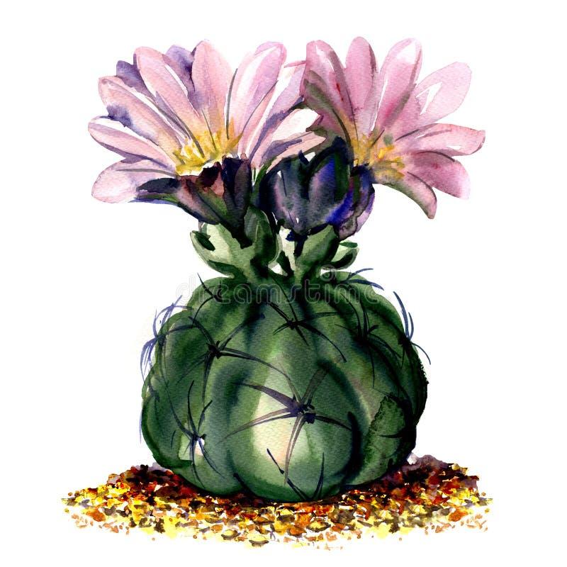 Cacto com as flores cor-de-rosa isoladas, ilustração da aquarela no branco ilustração do vetor