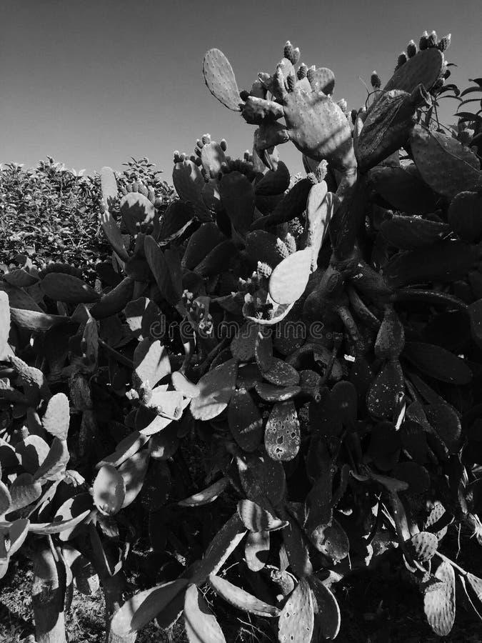 Cacto com marrom do fruto imagem de stock