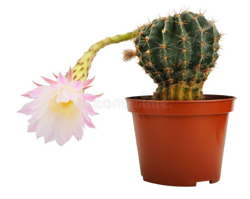 Cacto con la flor foto de archivo libre de regalías
