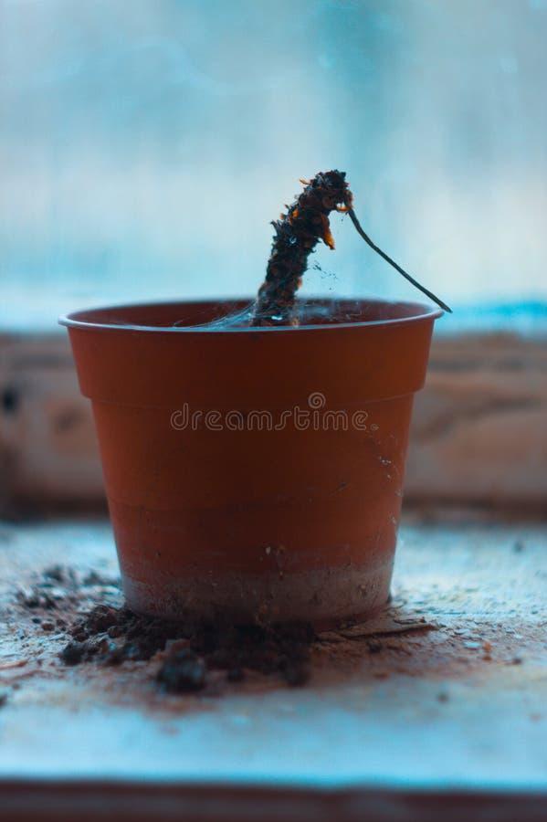Cacto crescente no potenciômetro de flor na construção abandonada imagem de stock royalty free