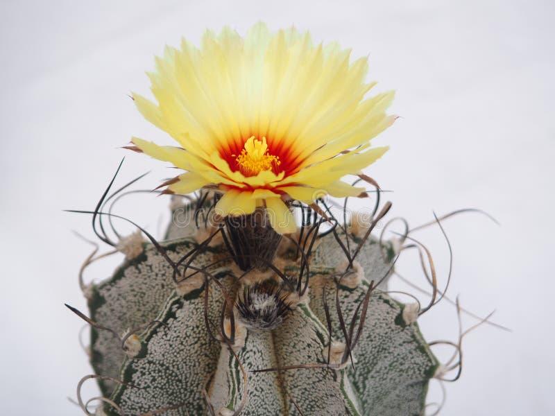 Cacto de florescência Astrophytum fotos de stock royalty free