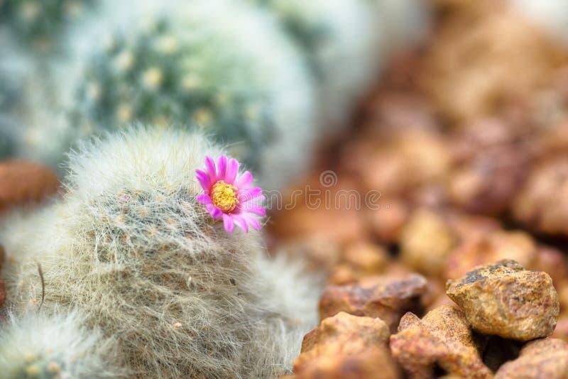 Cacto de florescência bonito com a flor cor-de-rosa no deserto imagens de stock