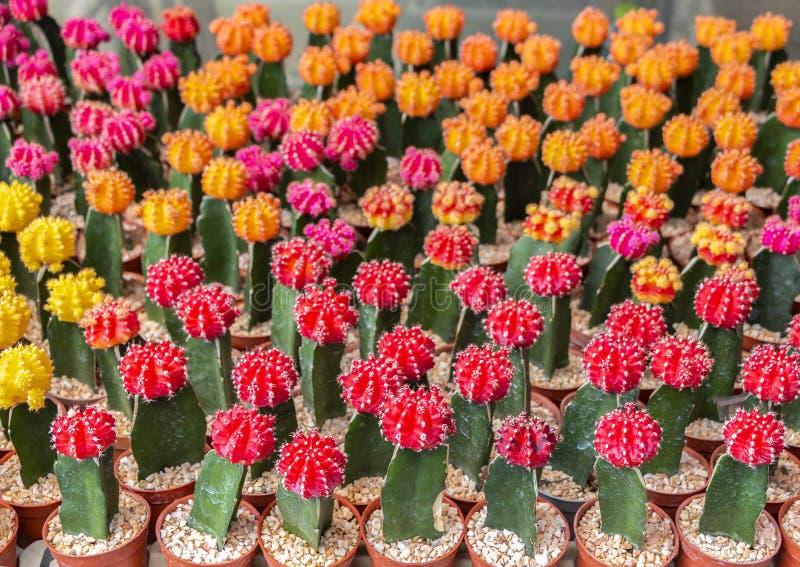 Cacto de florescência, colorido, brilhante e adiantado com o thor afiado imagem de stock