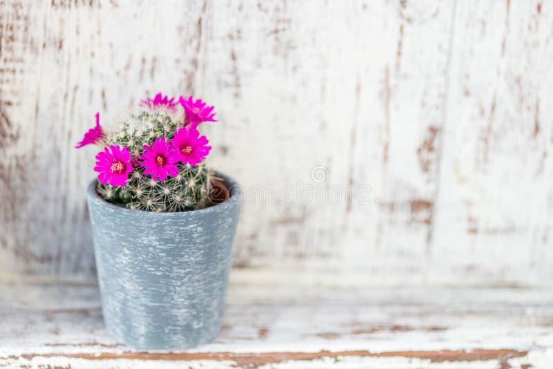 Cacto de florescência minúsculo no potenciômetro foto de stock royalty free