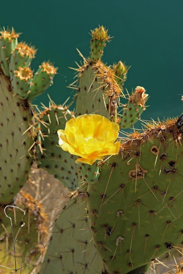 Cacto de florescência no poço de Montezuma imagens de stock royalty free