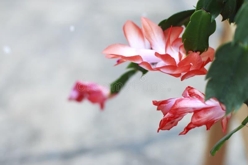 Cacto de Natal cor-de-rosa na flor em um dia nevado foto de stock royalty free