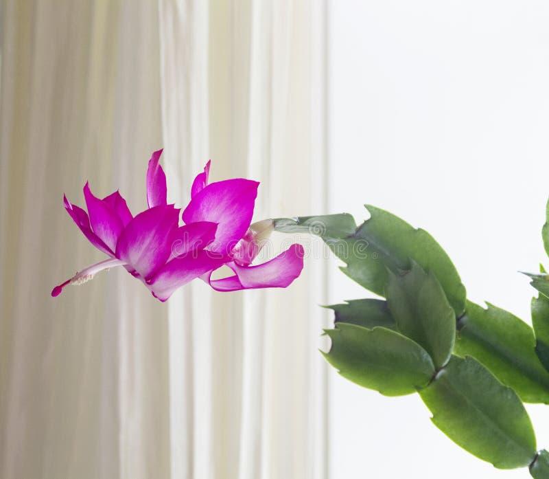 Cacto de Natal na flor foto de stock royalty free