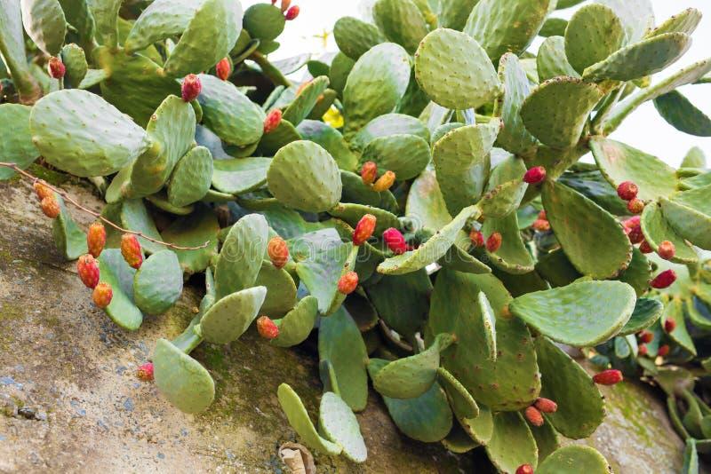 Cacto de pera espinhosa com fruto fotos de stock
