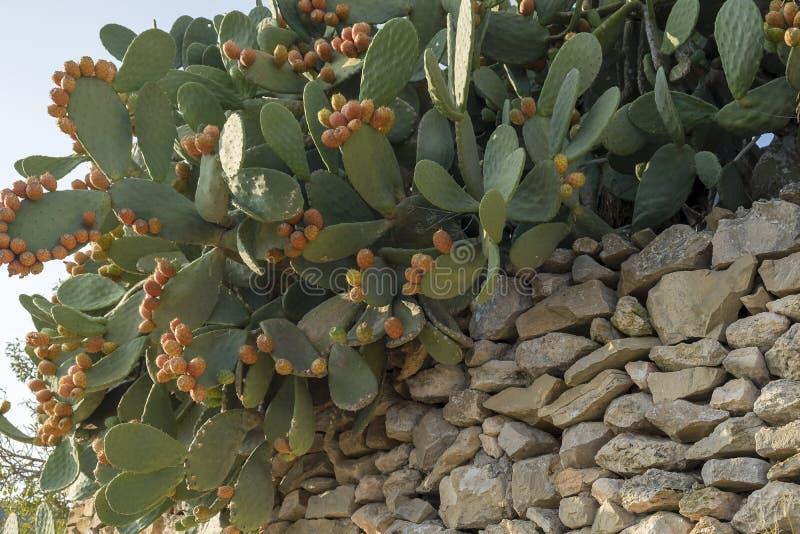 Cacto de pera espinhosa Ibiza, Espanha imagem de stock royalty free