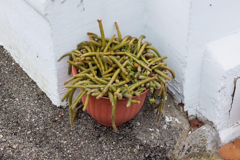Cacto de Rattail, Disocactus, em um potenciômetro de flor imagens de stock