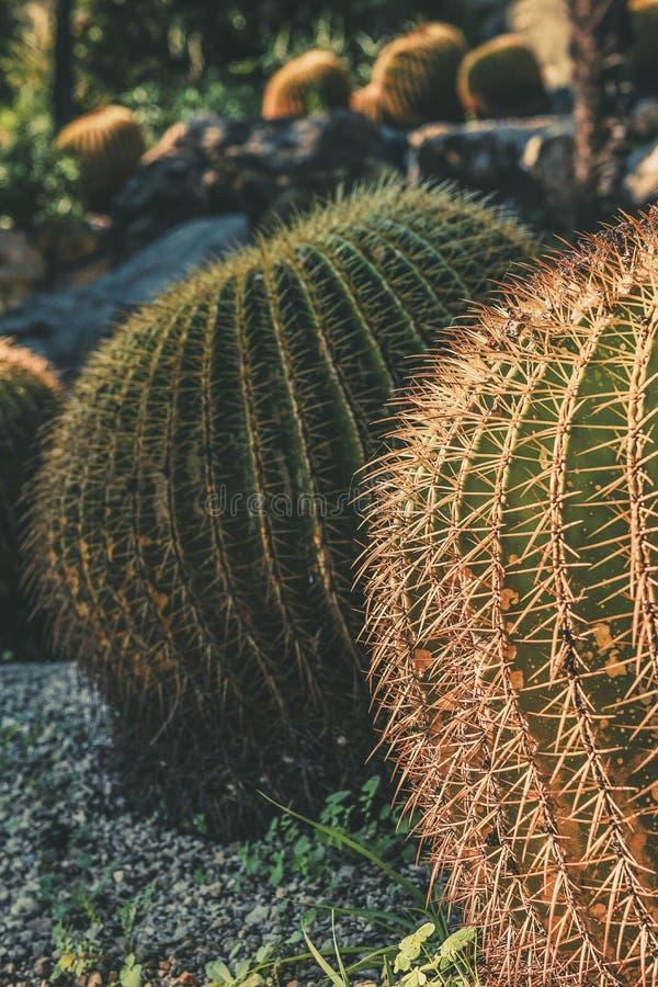 Cacto de tambor dourado redondo em um jardim do deserto imagens de stock