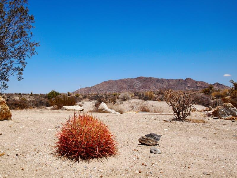 Cacto de tambor na paisagem do deserto imagens de stock